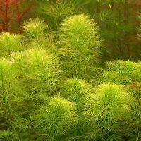 مرفیلیوم سبزMyriophyllum mattogrossense